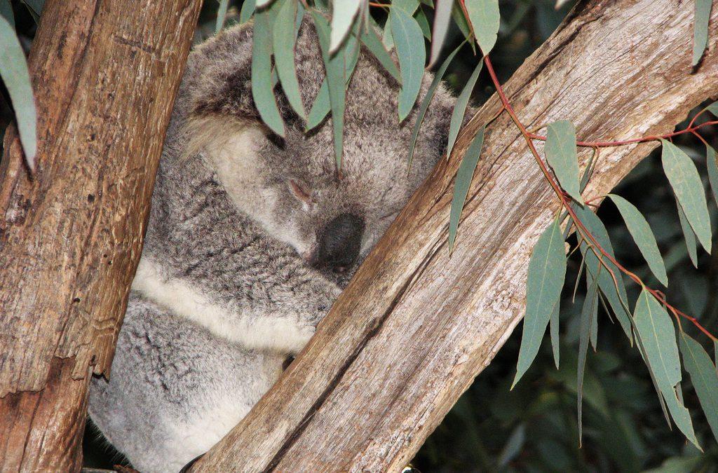 Blog: Koalas under threat in Pine Creek State Forest