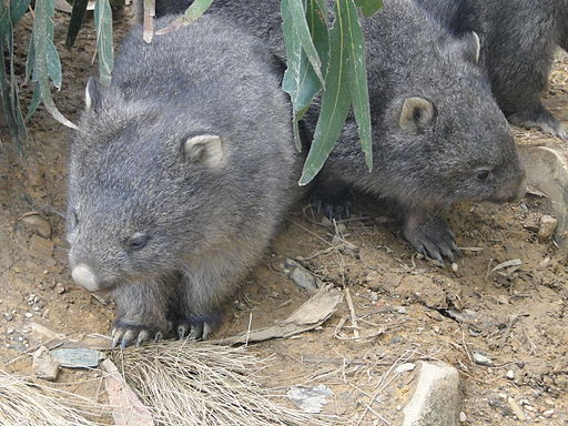 Careless killing of wombats in Glenbog State Forest