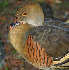 200,000 native ducks shot dead by amateur hunters in NSW