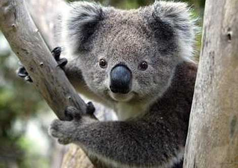 Greens Back Koala National Park, But Koalas Need Protection Across The State