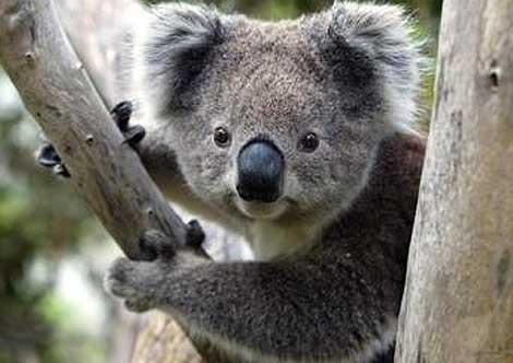 Greens Back Koala National Park, But Koalas Need Protection Across The State