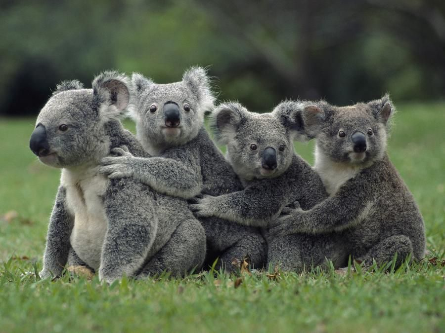 Greens speak up for koalas