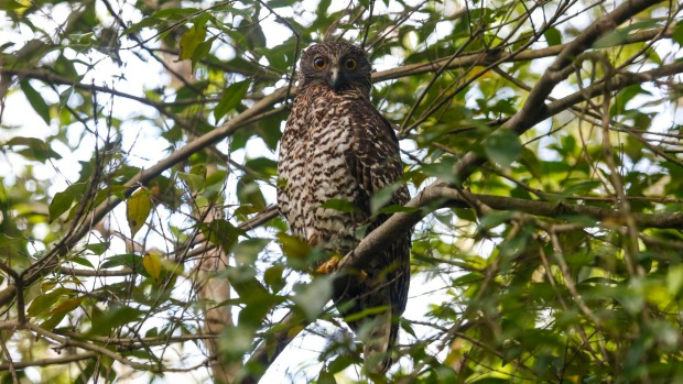 Beecroft residents appeal to state government to purchase powerful owl habitat
