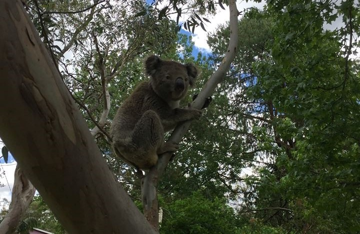 Media Release: It's true – there are koalas – but the big chop continues